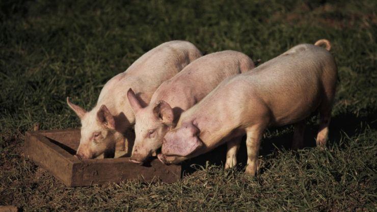 Au fost ridicate restricțiile din jurul focarelor de pestă porcină africană din zona Balta Blondă