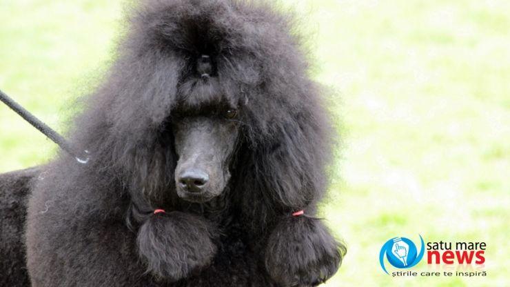 """Cei mai frumoși câini, din zeci de rase, la """"Dog Show Satu Mare"""""""