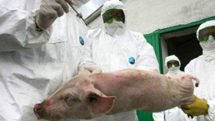 Gospodăriile și firmele sătmărene, afectate de Pesta Porcină Africană