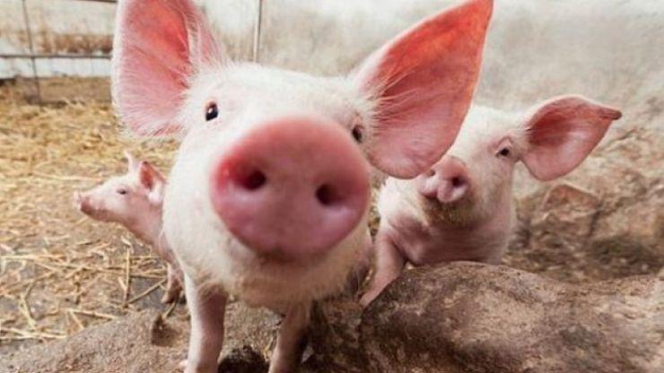 Focar de pestă porcină confirmat într-o pădure la granița cu judeţul Satu Mare