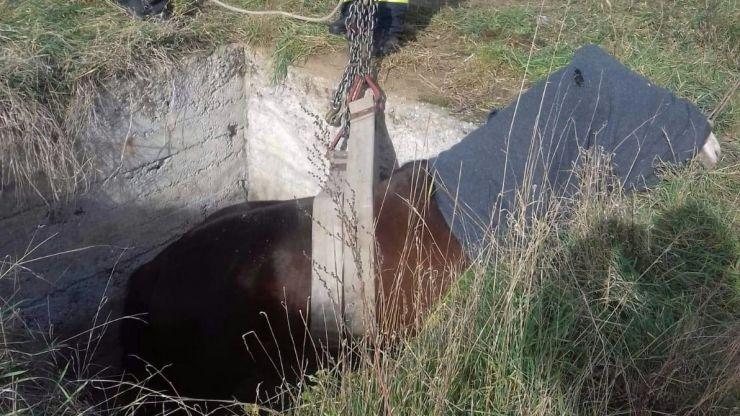 Cal salvat dintr-o fosă septică