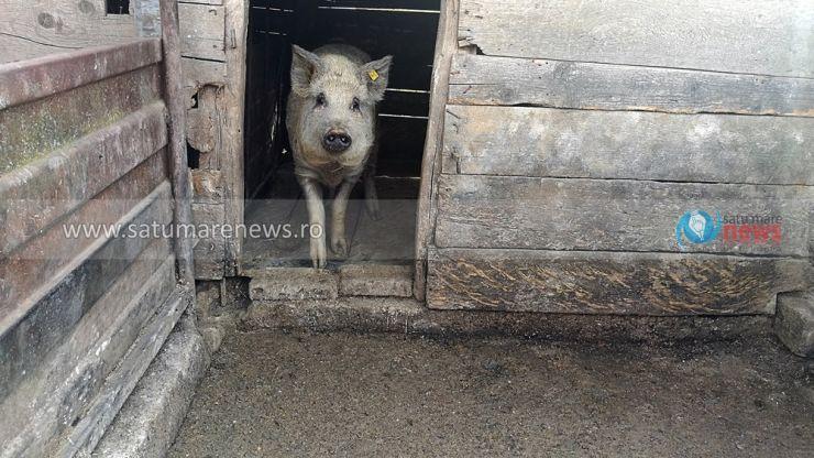 Alte cinci focare de pestă porcină africană, confirmate la Dindești