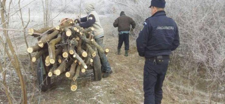 Se fură ca-n codru. Trei transporturi ilegale de lemne sancționate de jandarmii sătmăreni