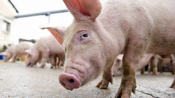 DSVSA Satu Mare | Opt localități cu focare de pestă porcină africană active în județ