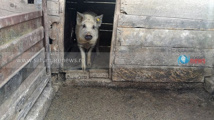 DSVSA Satu Mare: Ultimele șapte focare de pestă porcină au fost închise