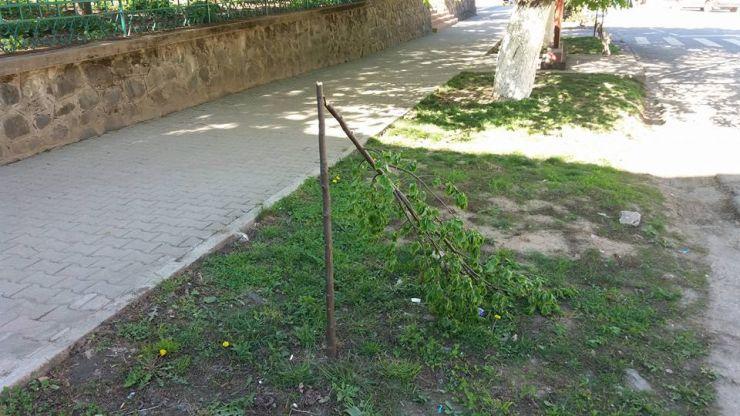 Polițiștii l-au identificat pe tânărul care a distrus copacii ornamentali din Tășnad