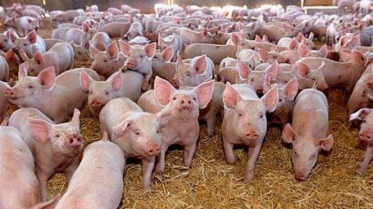 Crescători particulari de porci din Hurezu Mare și Supuru de Jos, amendați de DSVSA Satu Mare