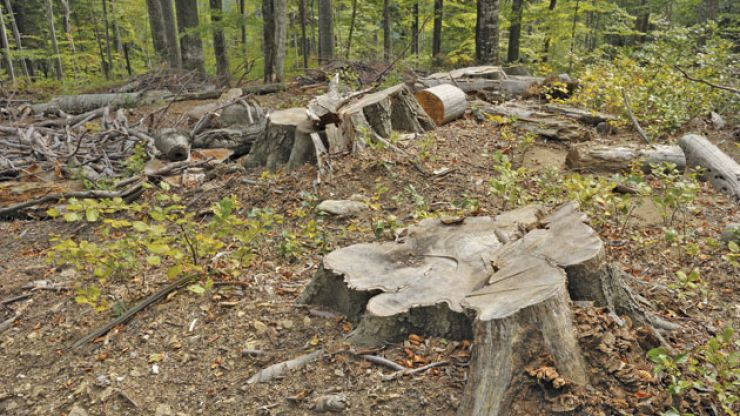 Pădurile din Satu Mare, tăiate la comanda pădurarilor de la Romsilva