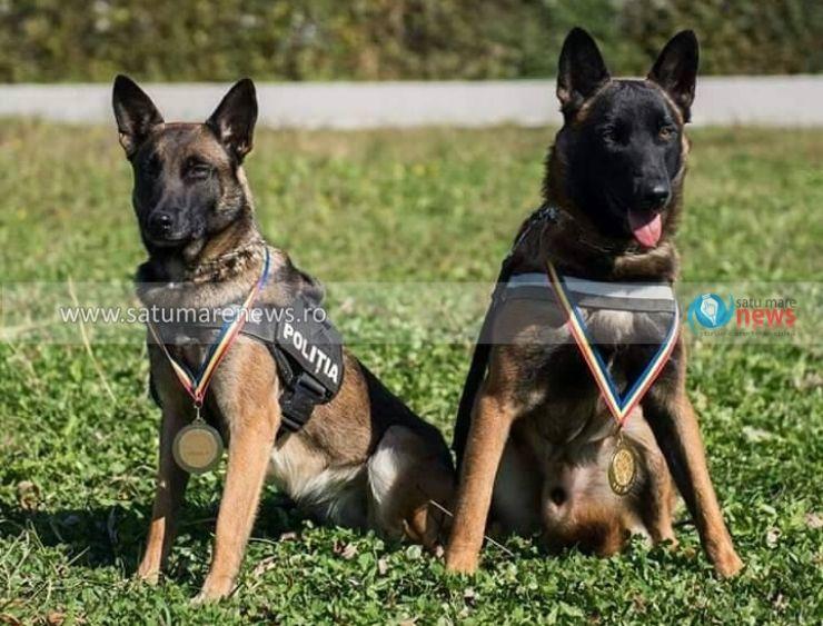 """Cei mai buni câini de intervenție din țară, Ares și Roka, """"lucrează"""" la IPJ Satu Mare"""